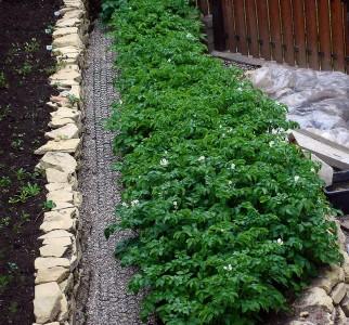 Matyt bus gausus derlius - teks jau ieškot nauju bulvės receptu